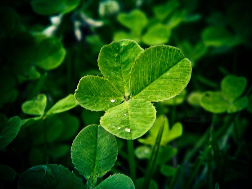a_four_leaf_clovers_by_makadjamba-d45ypce